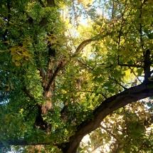 einer von 60 Gingko-Bäumen in Weimar